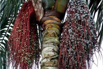 palmier-ungurahua
