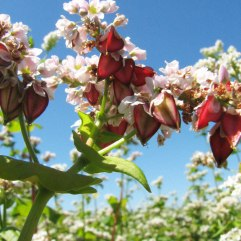 fleur-sarrasin