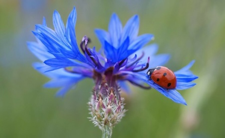 fleur-bleuet
